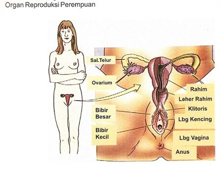 Anatomi Dan Fungsi Organ Reproduksi Manusia Pkbi Daerah Istimewa Yogyakarta
